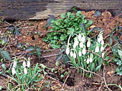 Snowdrops by house in Centralia