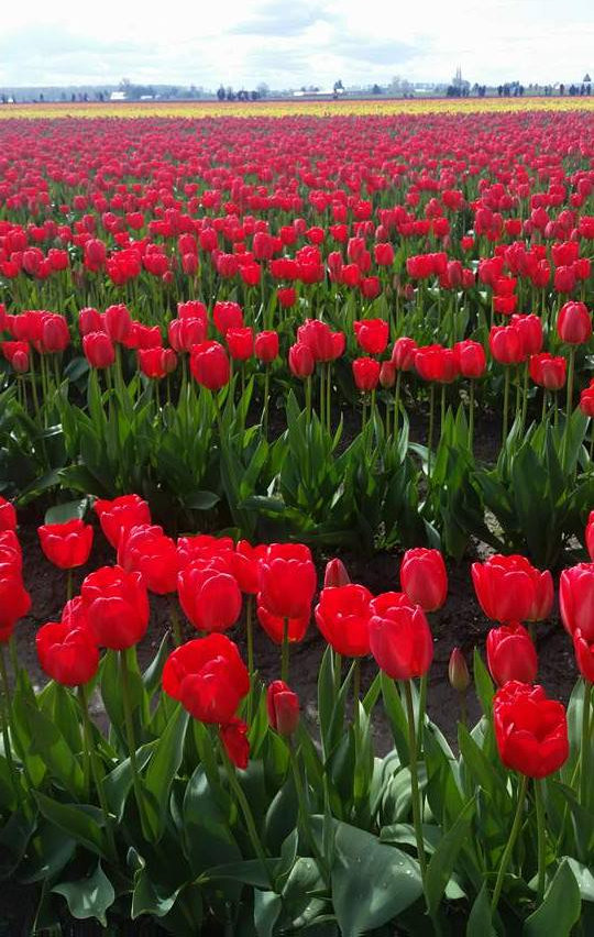 Stunning red tulips--Washington