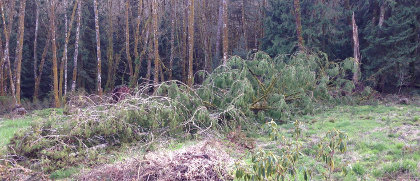 Wind blows over cedar tree in Centralia
