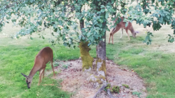 Deer in the back yard